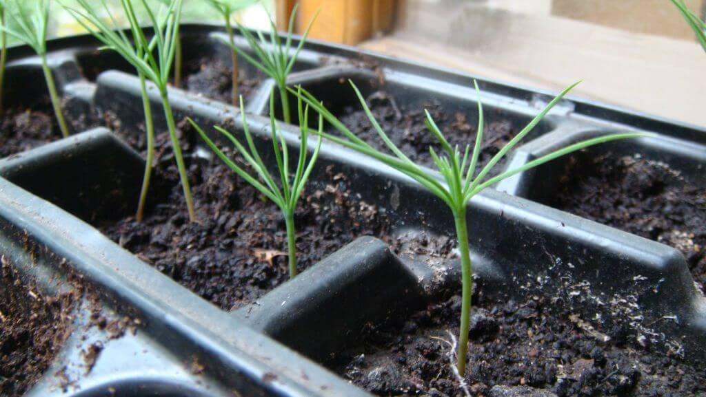 Как правильно вырастить сосну из семян в домашних условиях и что для этого нужно