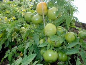 Зеленые томаты Лабрадор