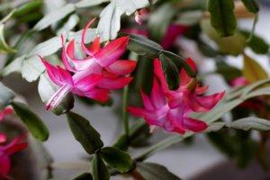 Что делать, если декабрист не цветет