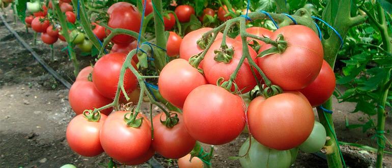 Сорт томата Лабрадор