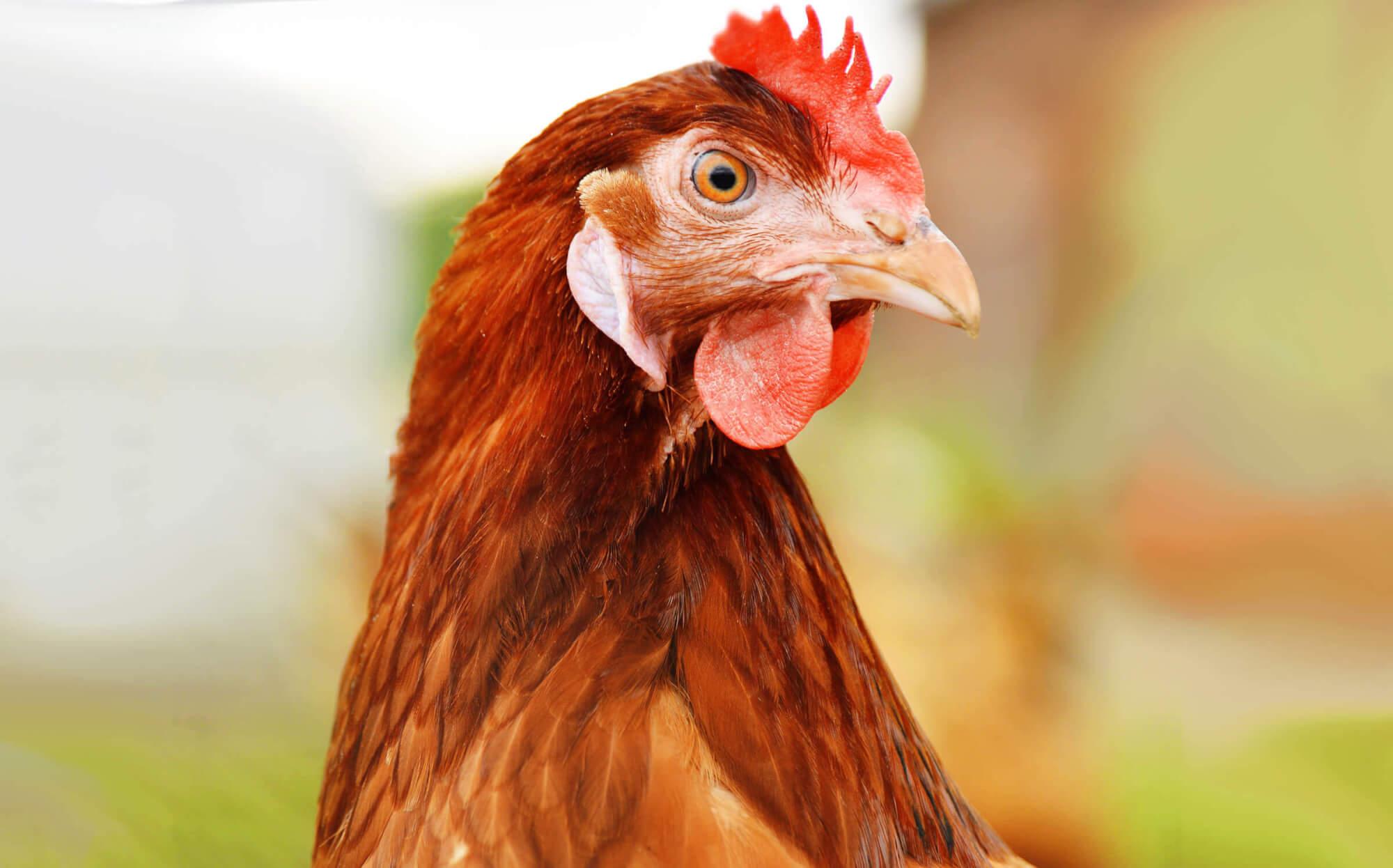 Популярная яичная порода кур Браун ник