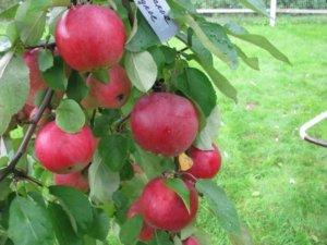 Яблоня Белорусская сладкая