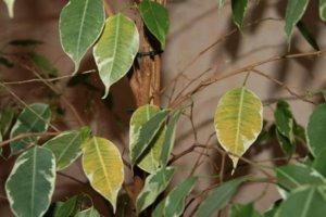 Пожелтевшие листья фикуса