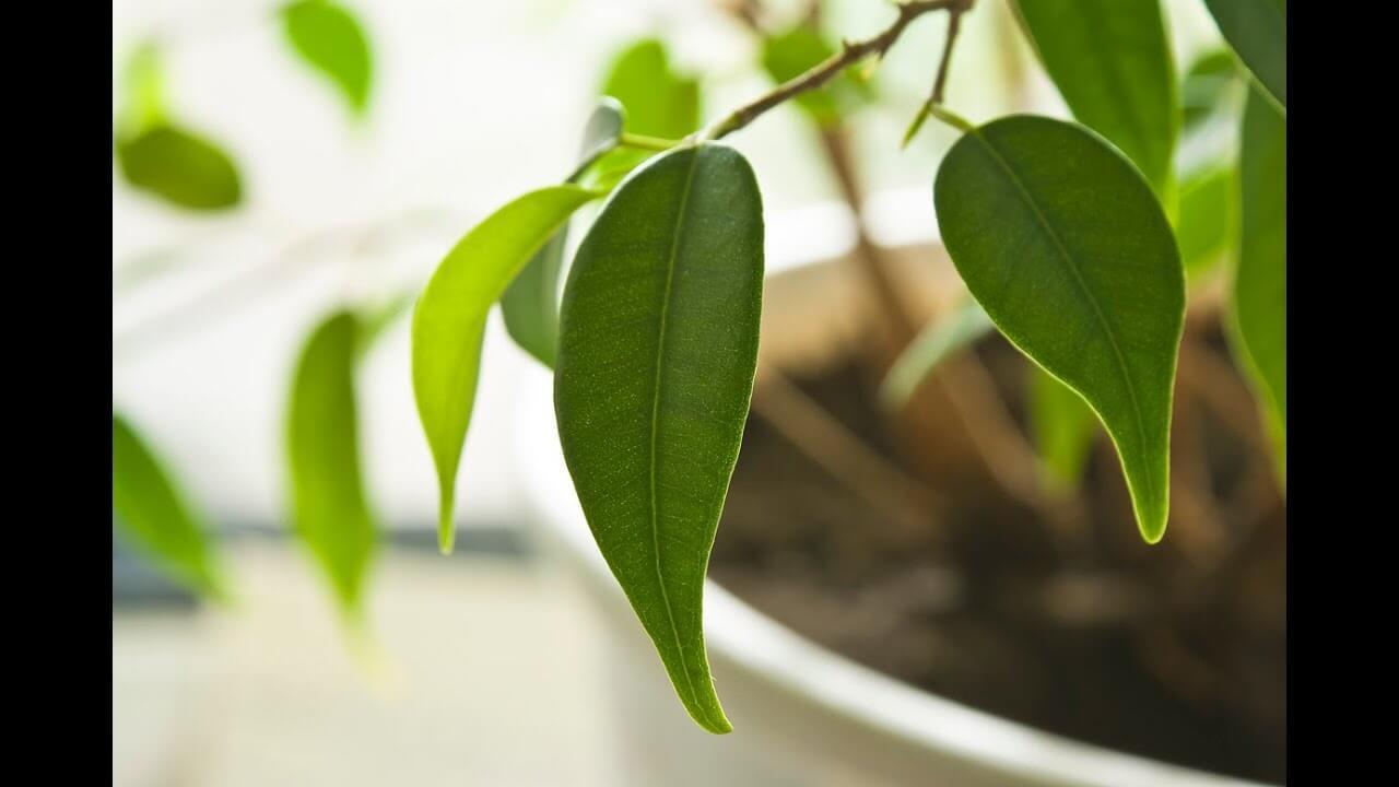 Почему с фикуса опадают листья и что делать, чтобы спасти свой цветок