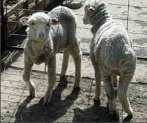 Беломышечная болезнь у овец