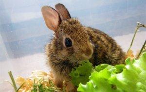 Кролик кушает салат