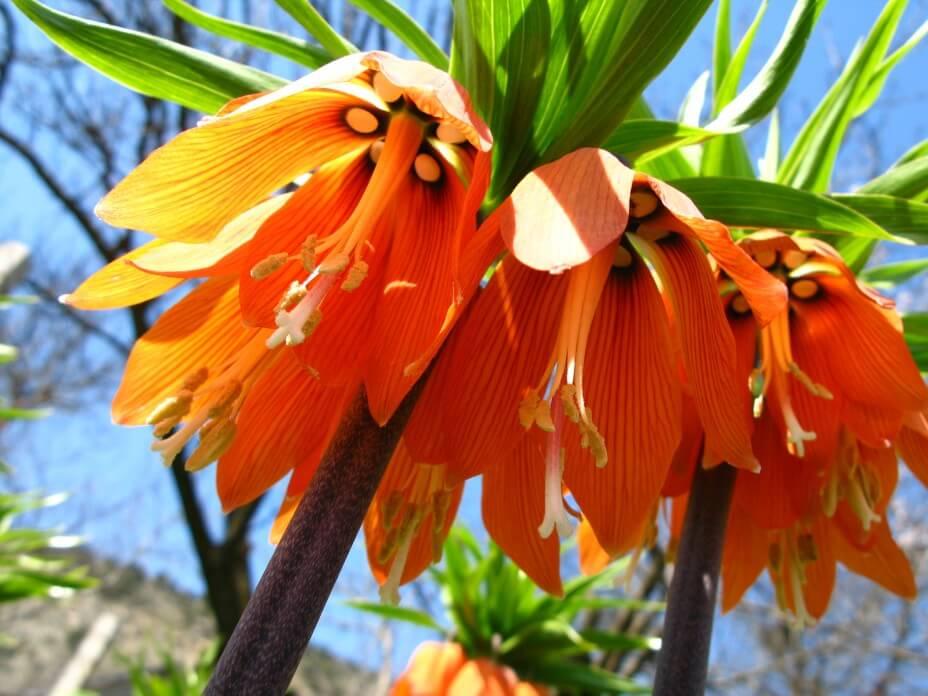 """Обзор цветка """"Царская корона"""" и его особенностей"""