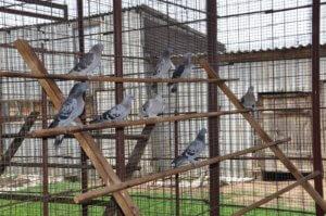 Вольер для голубей