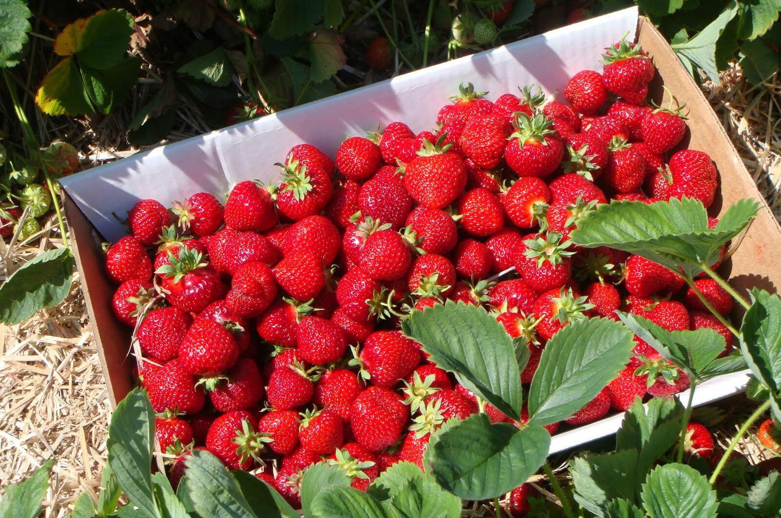 Как выращивать клубнику на даче, поэтапная инструкция для начинающих садоводов