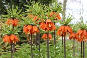 Цветы Императорские Рябчики