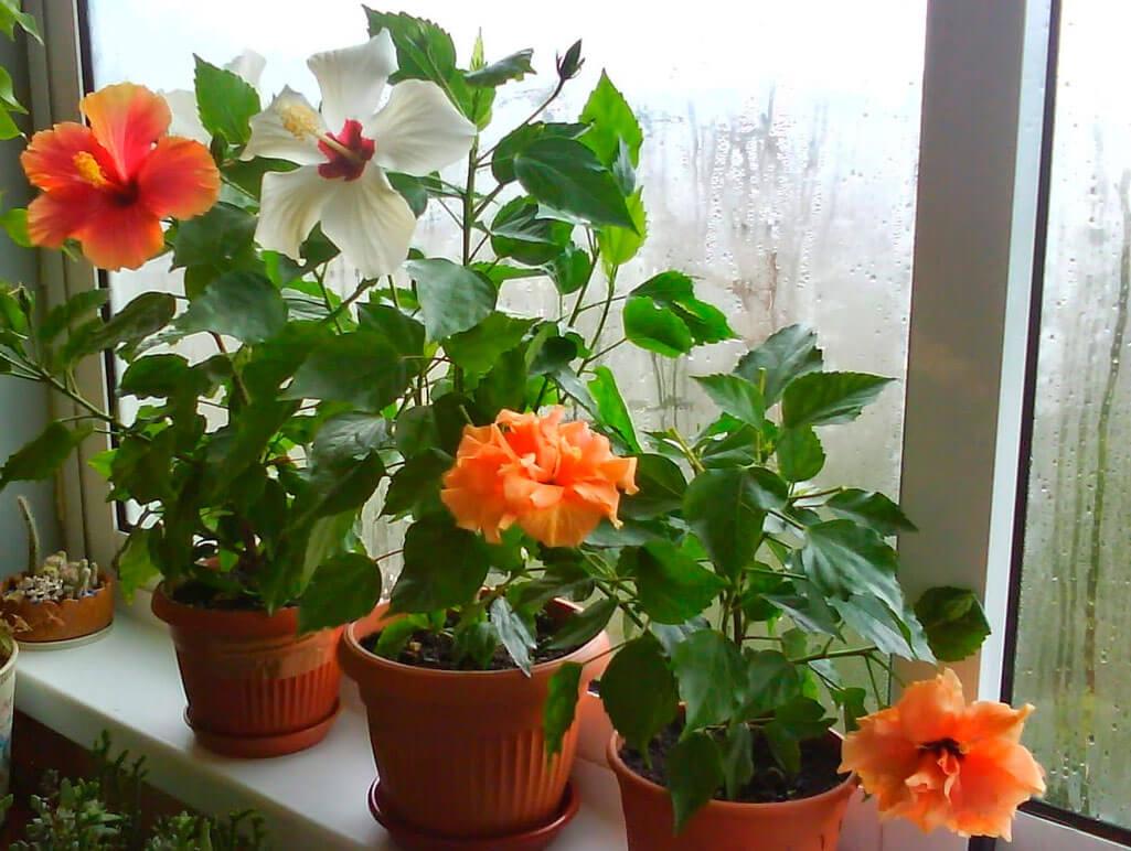 Комнатное растение Гибискус - описание, разновидности и особенности выращивания