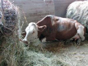 Корова болеет