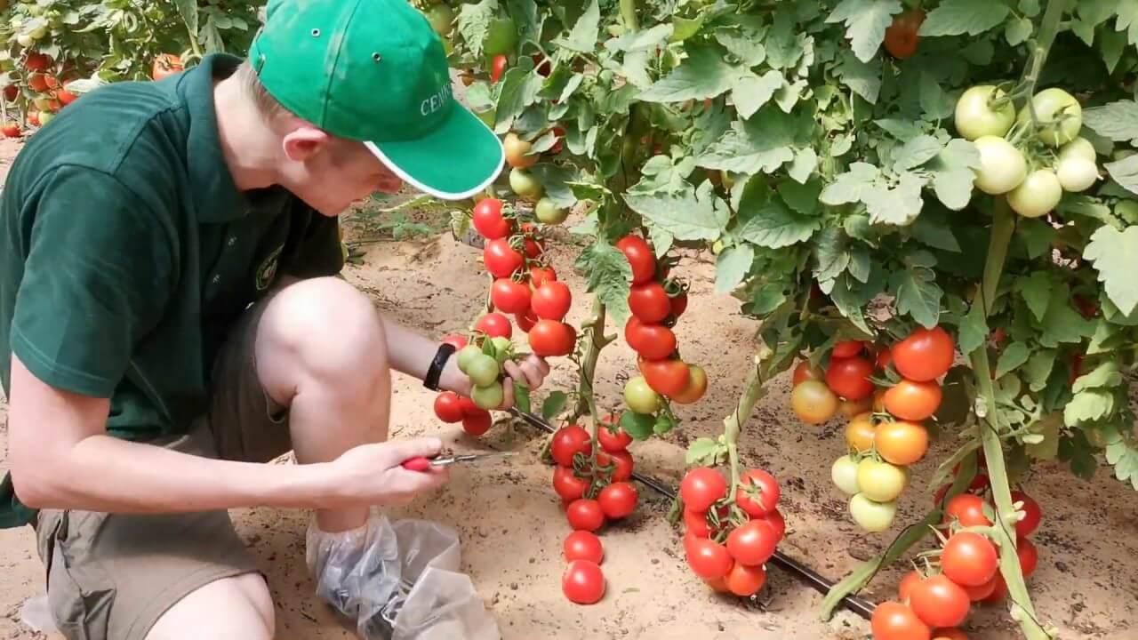 """Обзор сорта томатов """"Кистевой удар"""""""