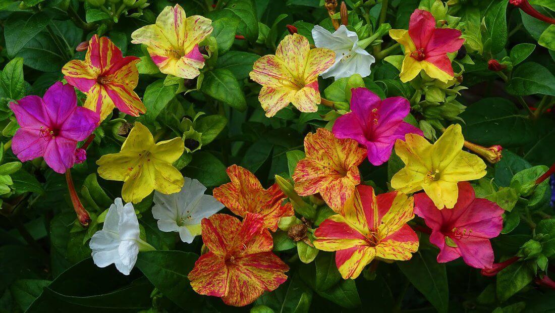 Мирабилис разных цветов