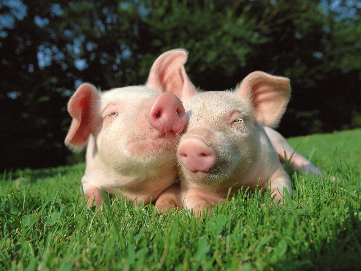 Какая нормальная температура у свиней, как и в каких случаях её необходимо измерять