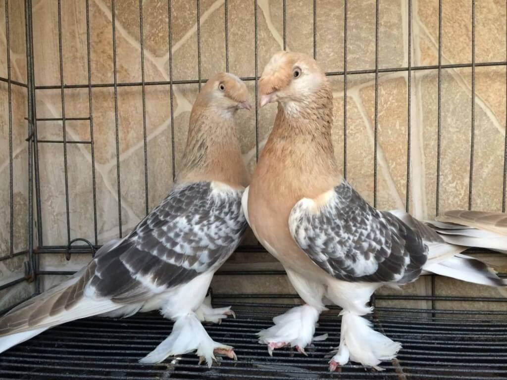 """Обзор породы голубей """"Турецкая Такла"""" и их особенности"""