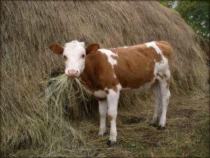 Заготовка сены для коровы