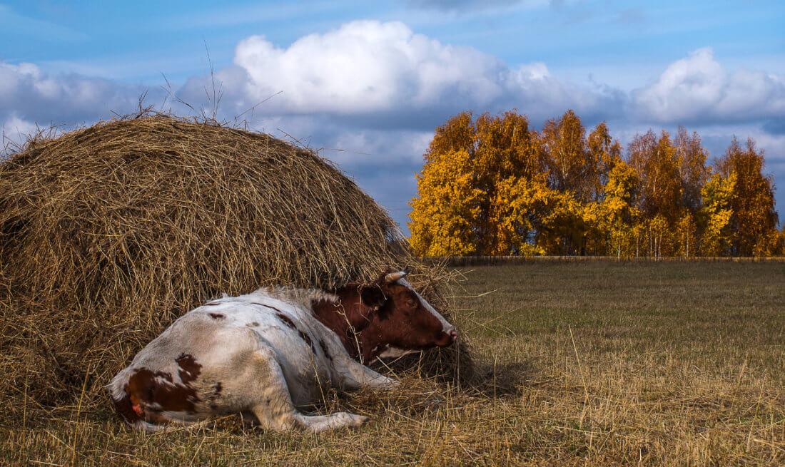 Корова и сено