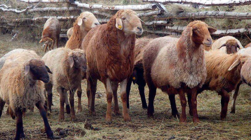 Эдильбаевские бараны