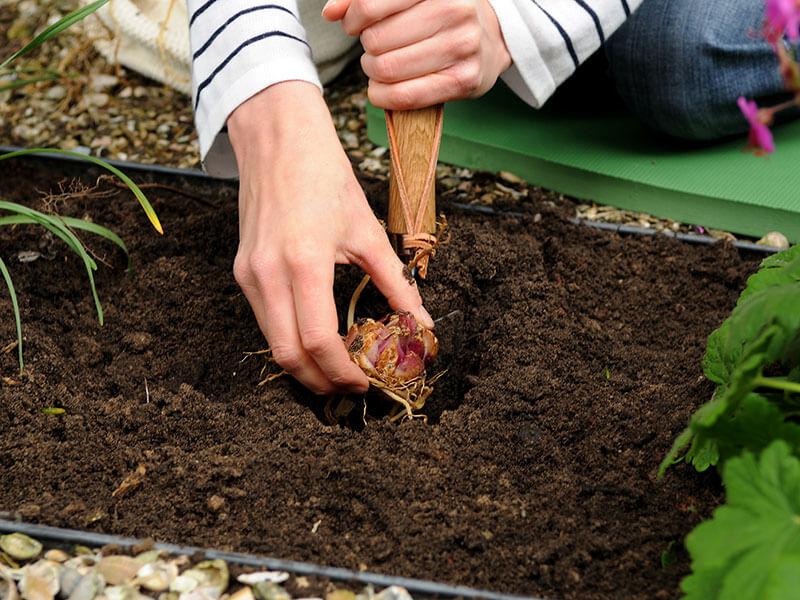 Когда лучше всего пересаживать лилии - осенью или весной, как сделать это правильно