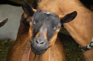 Как выглядят козы шведской породы