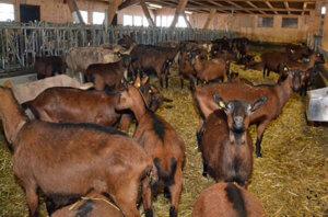 Насколько продуктивны шведские козы