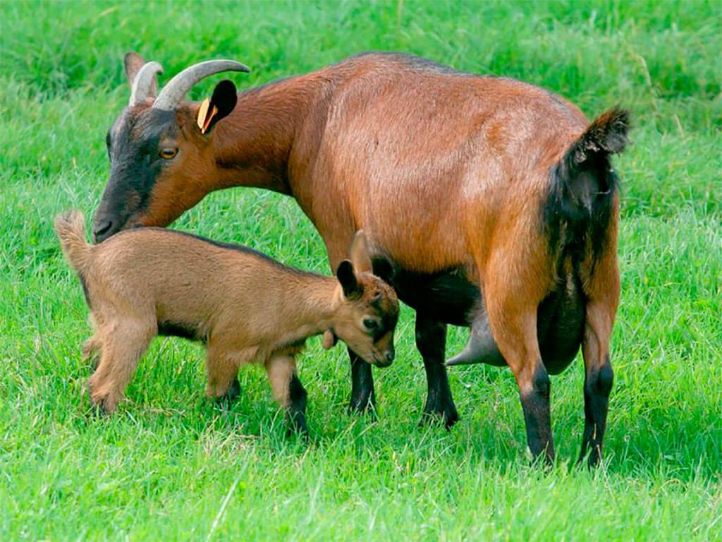 Характеристика и описание коз чешской породы, их преимущества перед другими видами