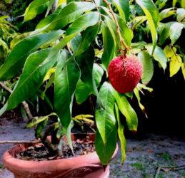 Рамбутан в горшке плодоносит