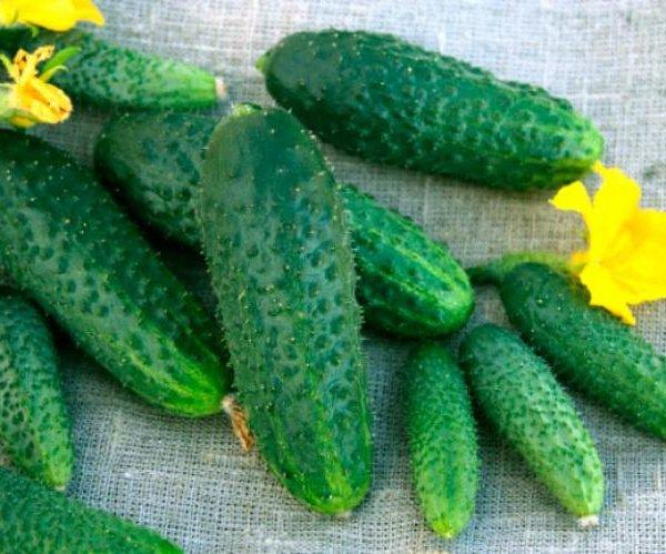 Огурец Щедрик f1 отзывы, описание, особенности выращивания, болезни и вредители