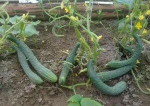 Выращивание китайских огурцов