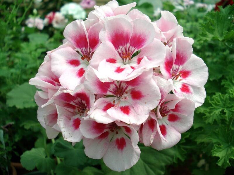 Розовая пеларгония
