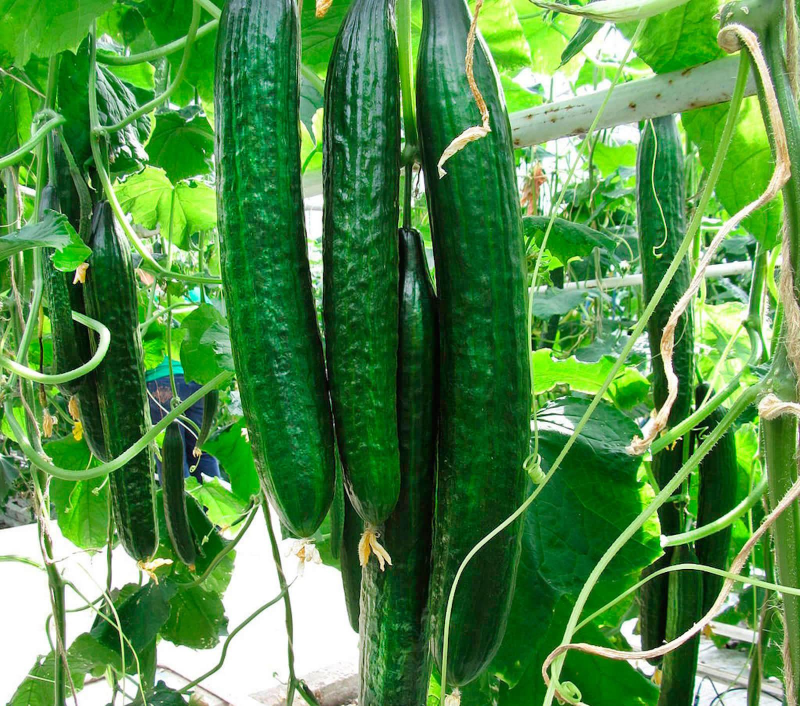 Обзор сорта огурцов Шанхайский молодец f1 и отзывы огородников о его выращивании
