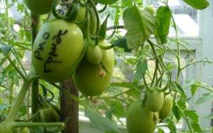 Зеленые томаты Рио Гранде