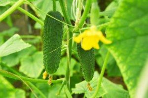 Выращивание огурцов Щедрик