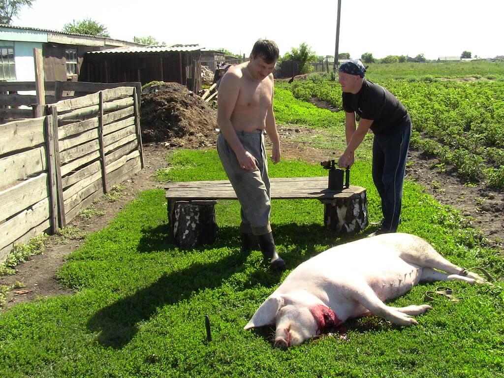 Как убить свинью - руководство по правильному забою в домашних условиях
