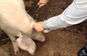 Забой свиньи в шею