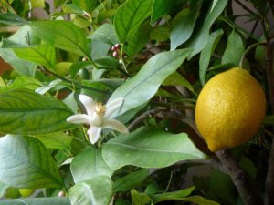 Цветение и плодоношение лимона