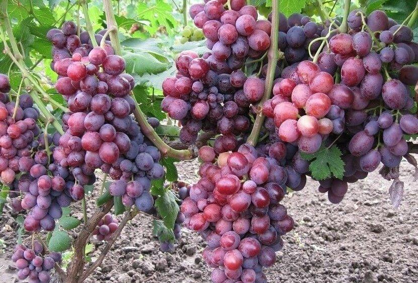 Слобожанский виноград